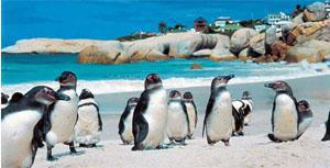 Boulders Penguins In Cape Town South Africa Boulders Beach Is The Best