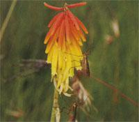 Crane flies perched on an aloe flower
