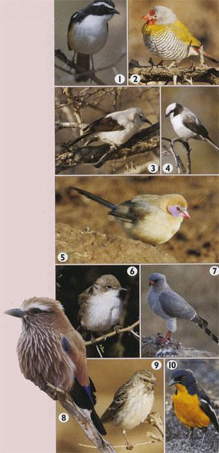 1. White-throated Robin-Chat. 2. Green-winged Pytilia. 3. Southern Pied Babbler. 4. Southern hite-crowned Shrike. 5. Violet-eared Waxbill. 6. Marico Flycatcher. 7. Gabar Goshawk. 8. Purple Roller. 9. Black-throated Canary. 10. Crimson-breasted Shrike.