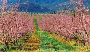 Barrydale fruit trees in spring