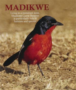 One of the most striking birds in the arid bushveld, the Crimson-breasted Shrike.