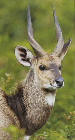 Bushbuck are frequently spotted in the forest glades