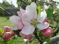 Langkloof Apple Blossoms, Eastern Cape