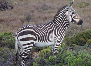 Quagga at Karoo National Park