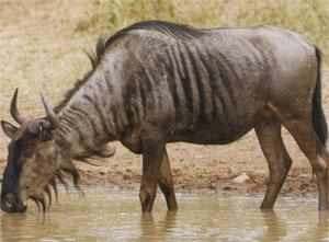 A wildebeest bull quenching its thirst.