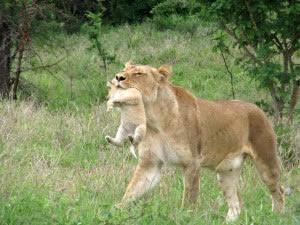 Kapama Private Game Reserve, Hoedspruit, Limpopo