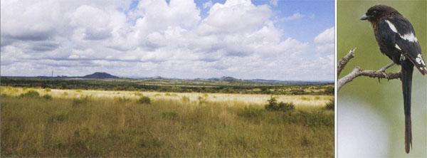 □ Rolling grasslands in Polokwane Game Reserve. □ The Magpie Shrike was previously known as the Long-tailed Shrike.