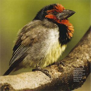 The Black-collared Barbet's most distinguishing feature is its red head