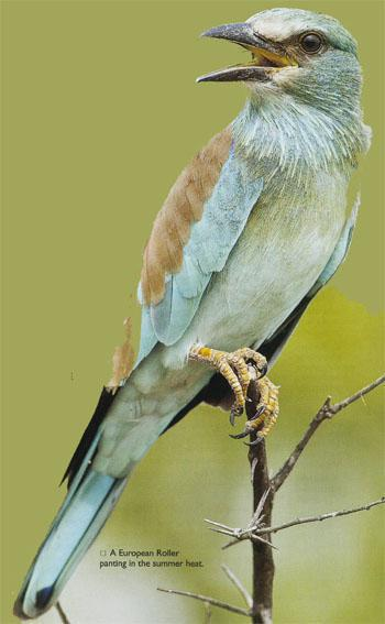 A European Roller panting in the summer heat