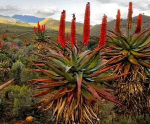Albertinia - aloe ferox capital of South Africa