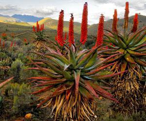 Albertinia - aloe ferox capital of South Africa