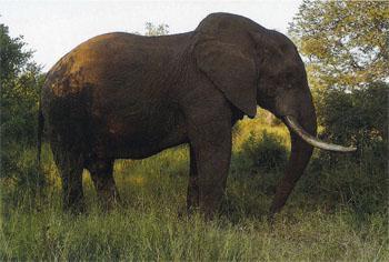 An African Elephant bull feeding on fallen marula fruit