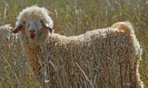 Jansenville Angora Goats