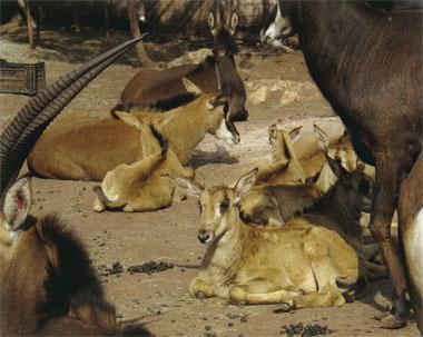 The breeding herds at Lusaka Park are producing young, raising fears that these small antelopes may be smuggled into South Africa