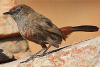 Cinnamon breasted warbler