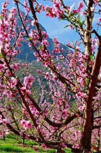 Fruit blossoms in Tulbagh
