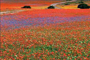 Namaqualand Flowers in Spring