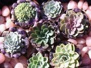 Succulents and Stones, Tulbach