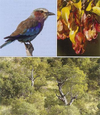The Lilac- breasted Roller has feathers of 14 different colours.  Colourful seedpods hang on the outer branches of a woodland tree. Punda Maria woodland