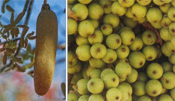 The long, heavy fruit of the sausage tree is said to have antibacterial qualities. Sycamore figs are an important source of food for hundreds of different insects and animals.