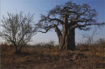 The unmistakable outline of a large baobab tree