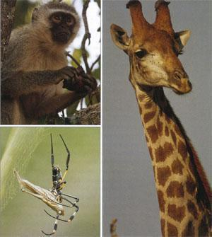 Vervet monkeys are a common and entertaining sight. A Golden Orb spider feeding on a grasshopper caught in its web. A giraffe bull surveys the woodland.