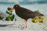 Black Oyster Catcher de Mond Nature Reserve