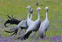 Bredasdorp Blue Crane