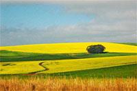 Napier wheat and canola fields