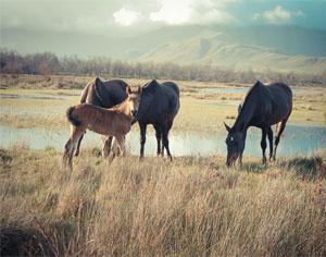 Feral horses at Bot River Lagoon