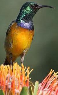 Orange Breasted Sunbird Harold Porter Gardens