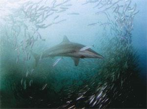 A bronze whaler shark takes advantage of the rich pickings