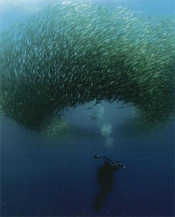 A diver's stream of bubbles splits the circling baitball