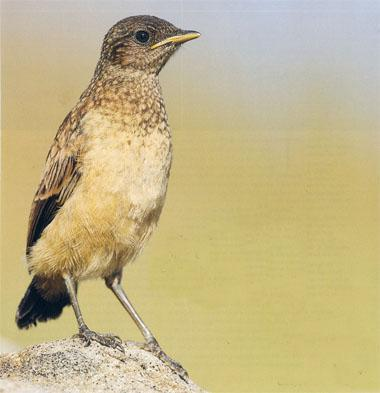 A recently fledged Buff- streaked Chat sitting prominently on a boulder
