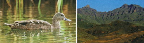 Black Duck are sometimes seen along the quieter stretches of the Pholela River.  Hodgkin's Peaks are the most prominent geological feature of Cobham