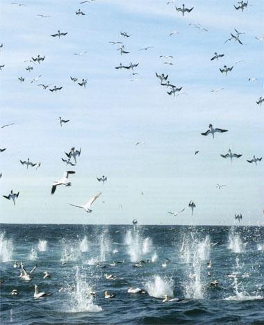 Cape gannets bombard sardines