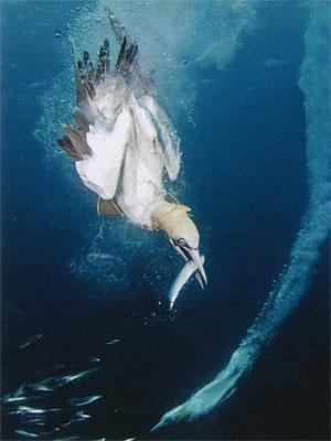 Cape gannets can dive over 10 metres deep to snatch their prey