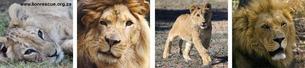 Drakenstein Lion Sanctuary Paarl