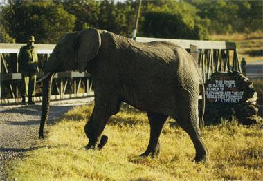An elephant at the bridge over the Ewaso N'giro River, which formerly served as a natural barrier between Sweetwaters and the rest of 0l Pejeta.