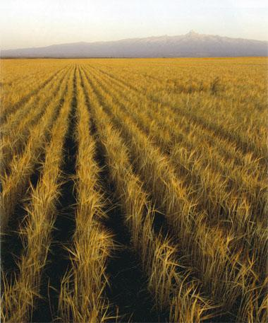 Crops like wheat, seen here against a backdrop of Mount Kenya, help buffer the conservancy against economic catastrophe.