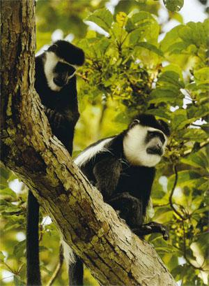 Eastern black and white coiobus - or guerezas - are common in Odzala-Kokoua National Park.These were photographed at the site of Wilderness Safari's new camp. Odzala is considered to be one of the richest areas for primates in west-centra! Africa.