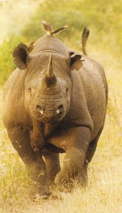 Statistics suggest that between October and December 2011 as many as nine rhinos may have been saved as a result of its presence.
