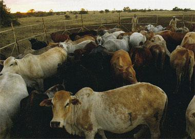 The system seems to protect the local pure-bred Boran cattle farmed here.