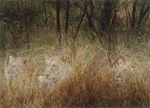 Well camouflaged lions relaxing next to the road