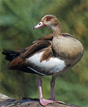 Egyptian Goose preening after feeding on open water.