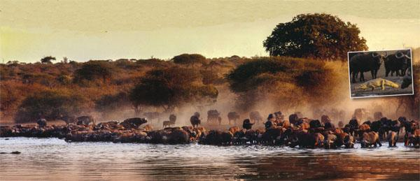 A herd of buffalo at Sunset Waterhole. Insert: This crocodile was not wanted when the buffaloes arrived.  They chased him back into the water.