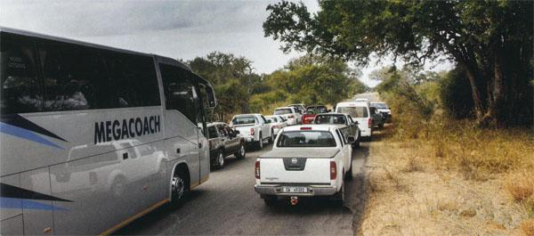 A leopard sighting in the Lower Sabie region causes a traffic jam. This can be a bit bothersome, especially for the photographer trying to capture a wildlife shot without vehicles in the background!