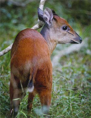 Red duiker are common sights in the Coastal Forest section