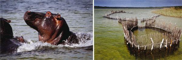 Below, from left: iSimangaliso conserves the largest population of hippos in the country; the fish traps in the Kosi Lake system have been used for more than ; 700 years by the Thongan people; ghost crabs emerge in their hundreds during low tide; iSimangaliso's beaches extend for more than 200 kilometres.