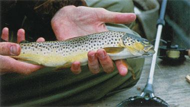 A special brown trout from Loch Leven.